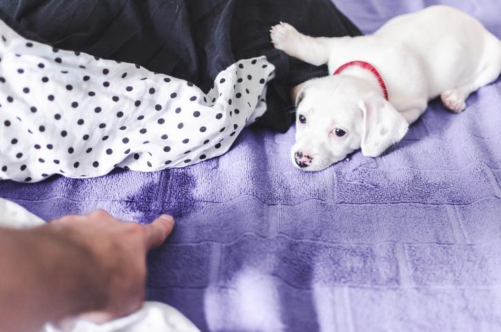 orina de perro en la cama