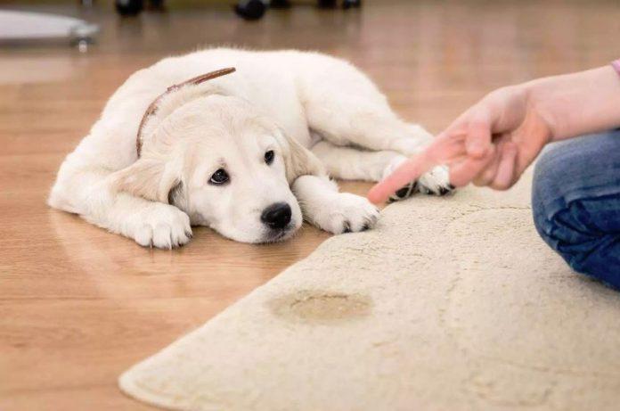 como quitar el olor a pipi de perro de una alfombra