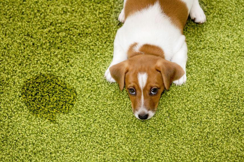 como quitar mancha de pis de perro en alfombras
