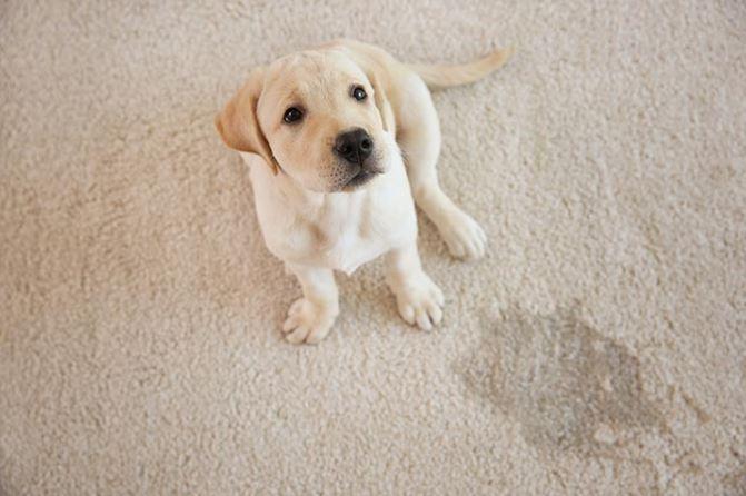 quitar pis de perro en alfombra