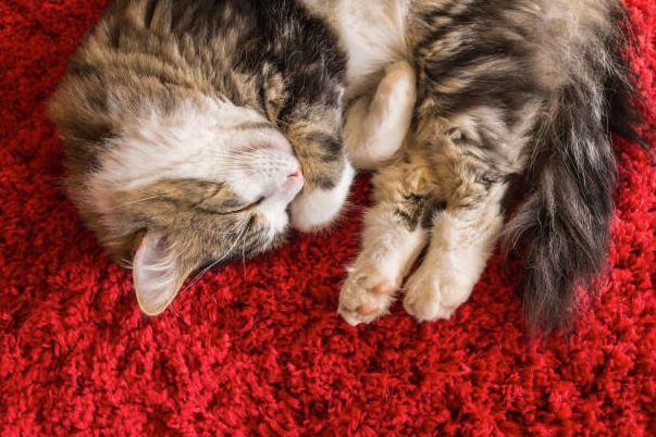 gato en alfombra de pelo largo